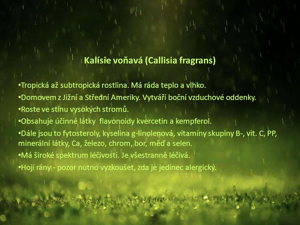 Kalísie voňavá (Callisia fragrans) Tropická až subtropická rostlina.