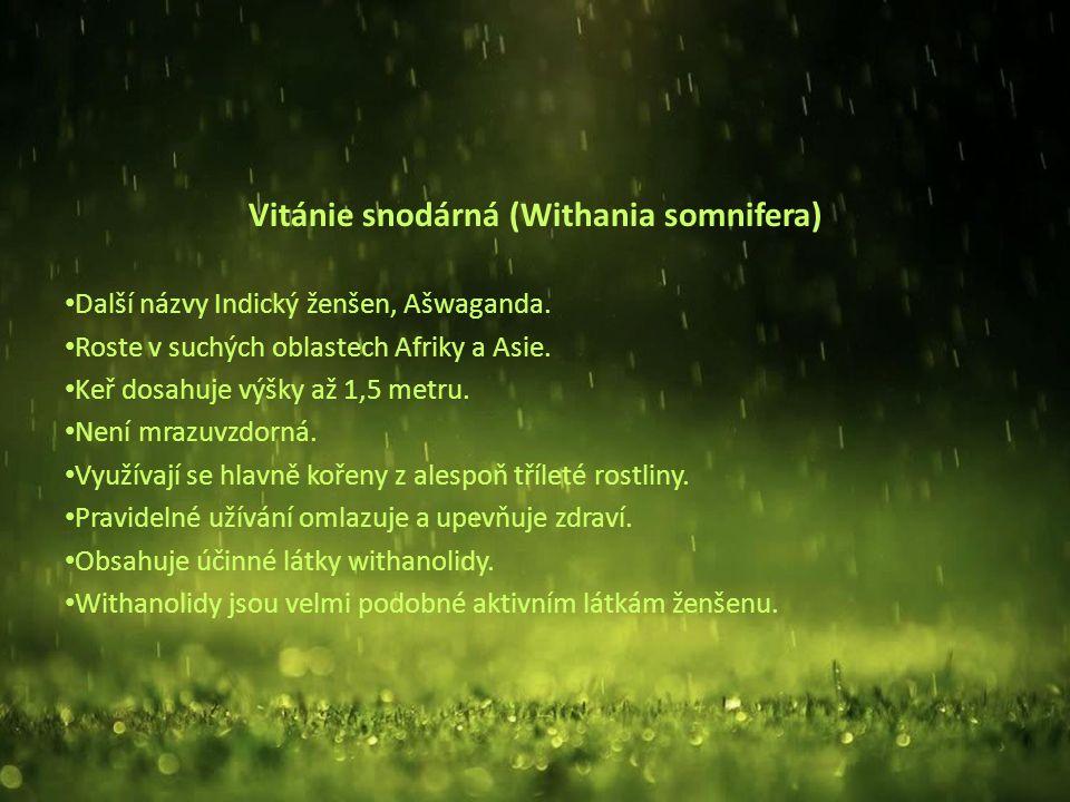 Vitánie snodárná (Withania somnifera) Další názvy Indický ženšen, Ašwaganda.