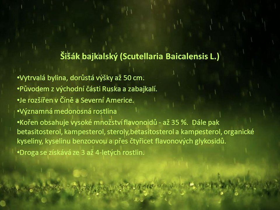 Šišák bajkalský (Scutellaria Baicalensis L.) Vytrvalá bylina, dorůstá výšky až 50 cm.