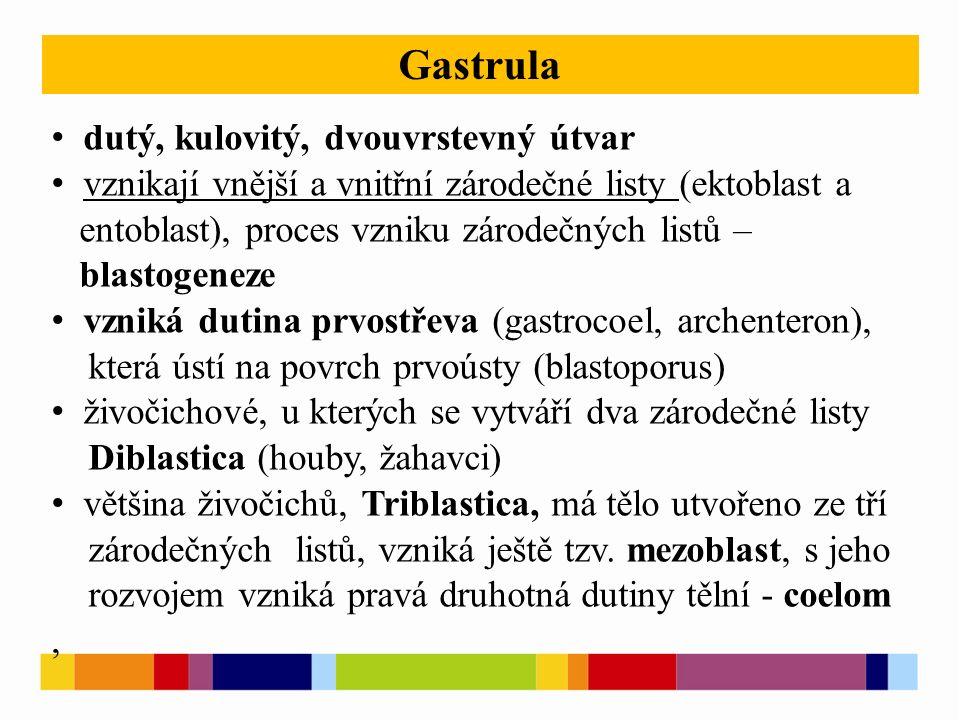 dutý, kulovitý, dvouvrstevný útvar vznikají vnější a vnitřní zárodečné listy (ektoblast a entoblast), proces vzniku zárodečných listů – blastogeneze vzniká dutina prvostřeva (gastrocoel, archenteron), která ústí na povrch prvoústy (blastoporus) živočichové, u kterých se vytváří dva zárodečné listy Diblastica (houby, žahavci) většina živočichů, Triblastica, má tělo utvořeno ze tří zárodečných listů, vzniká ještě tzv.