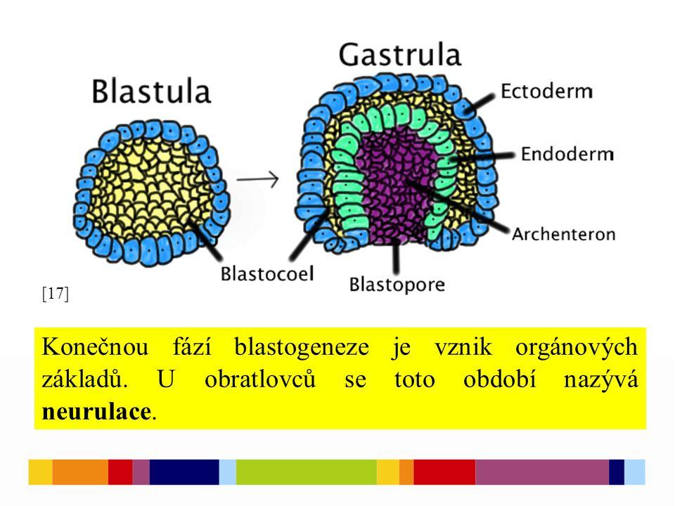 [17] Konečnou fází blastogeneze je vznik orgánových základů.