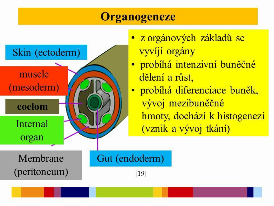 Organogeneze [19] z orgánových základů se vyvíjí orgány probíhá intenzivní buněčné dělení a růst, probíhá diferenciace buněk, vývoj mezibuněčné hmoty, dochází k histogenezi (vznik a vývoj tkání) Skin (ectoderm) muscle (mesoderm) coelom Internal organ Membrane (peritoneum) Gut (endoderm)