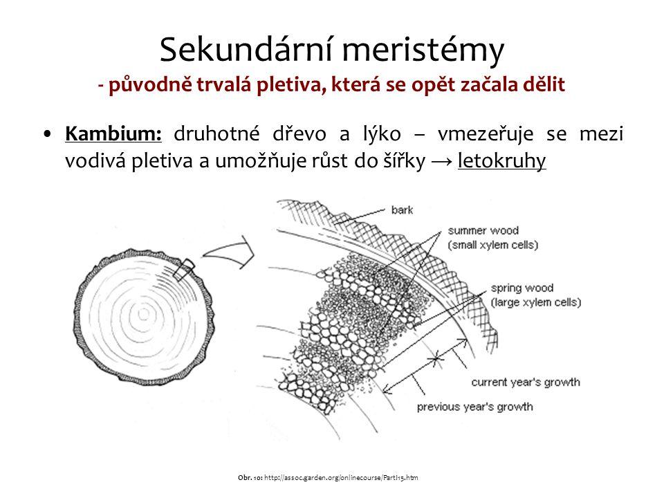 Sekundární meristémy - původně trvalá pletiva, která se opět začala dělit Kambium: druhotné dřevo a lýko – vmezeřuje se mezi vodivá pletiva a umožňuje růst do šířky → letokruhy Obr.