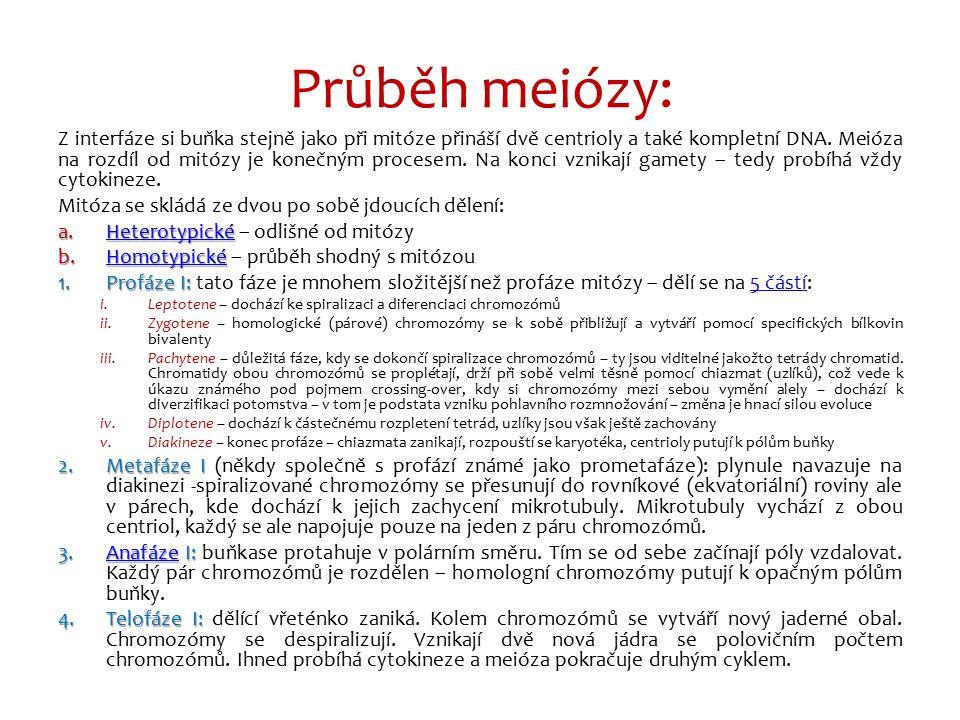 Průběh meiózy: Z interfáze si buňka stejně jako při mitóze přináší dvě centrioly a také kompletní DNA. Meióza na rozdíl od mitózy je konečným procesem