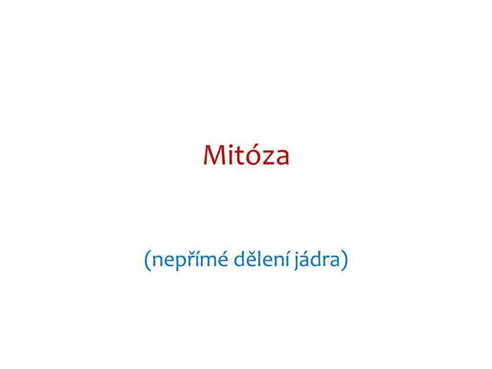 Mitóza (nepřímé dělení jádra)