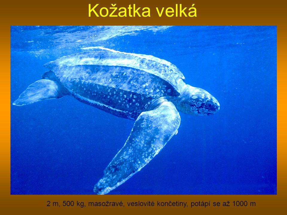 Kožatka velká 2 m, 500 kg, masožravé, veslovité končetiny, potápí se až 1000 m