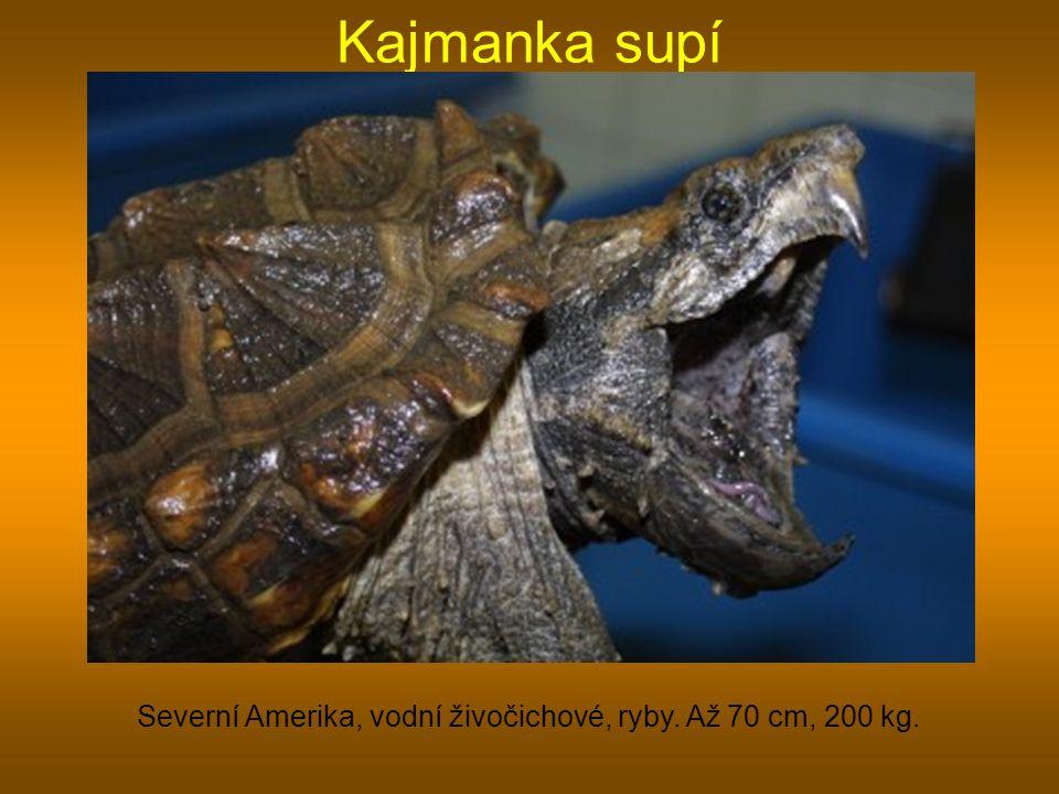 Kajmanka supí Severní Amerika, vodní živočichové, ryby. Až 70 cm, 200 kg.