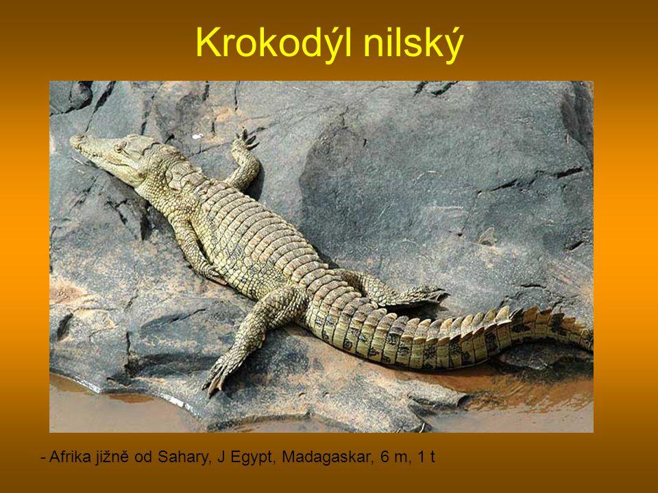 Krokodýl nilský - Afrika jižně od Sahary, J Egypt, Madagaskar, 6 m, 1 t