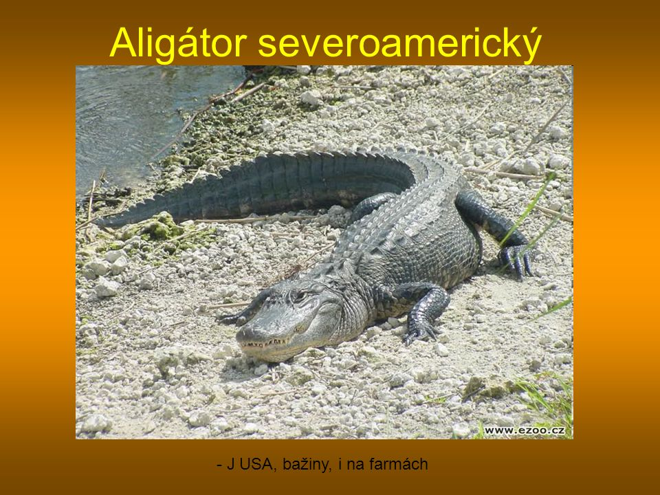 Aligátor severoamerický - J USA, bažiny, i na farmách