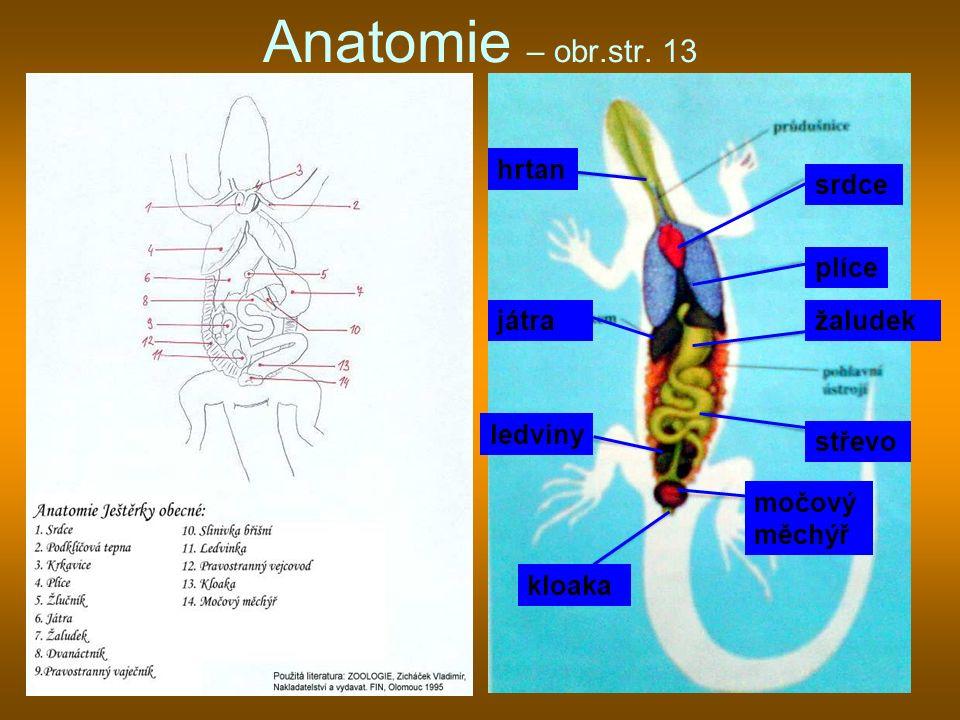 Anatomie – obr.str. 13 plíce srdce žaludek střevo močový měchýř kloaka ledviny játra hrtan