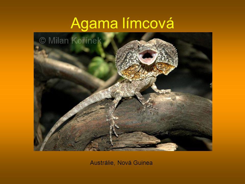 Agama límcová Austrálie, Nová Guinea