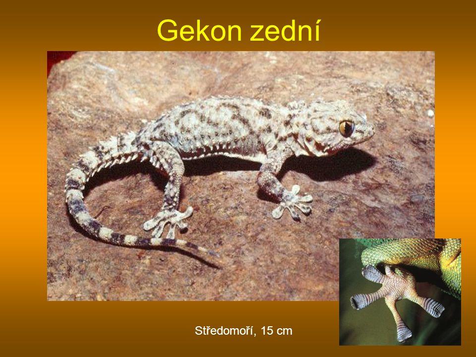 Gekon zední Středomoří, 15 cm