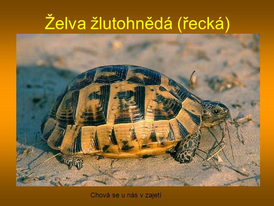 Želva žlutohnědá (řecká) Chová se u nás v zajetí