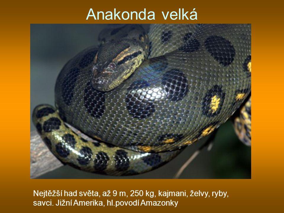 Anakonda velká Nejtěžší had světa, až 9 m, 250 kg, kajmani, želvy, ryby, savci. Jižní Amerika, hl.povodí Amazonky