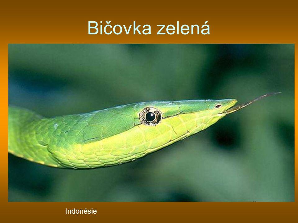 Bičovka zelená Indonésie