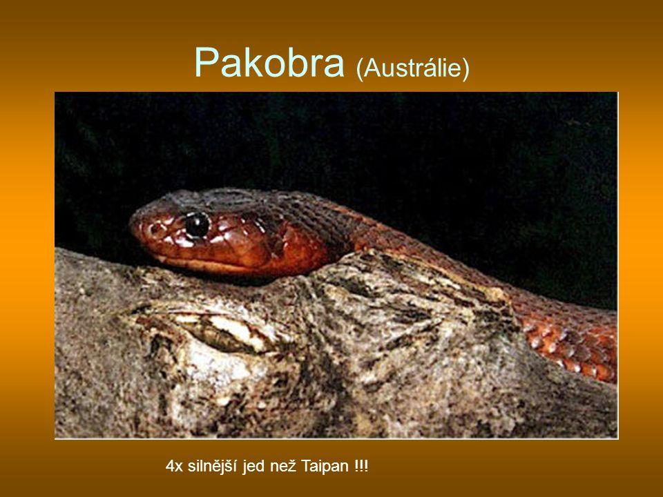 Pakobra (Austrálie) 4x silnější jed než Taipan !!!