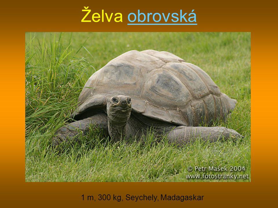 Želva obrovskáobrovská 1 m, 300 kg, Seychely, Madagaskar