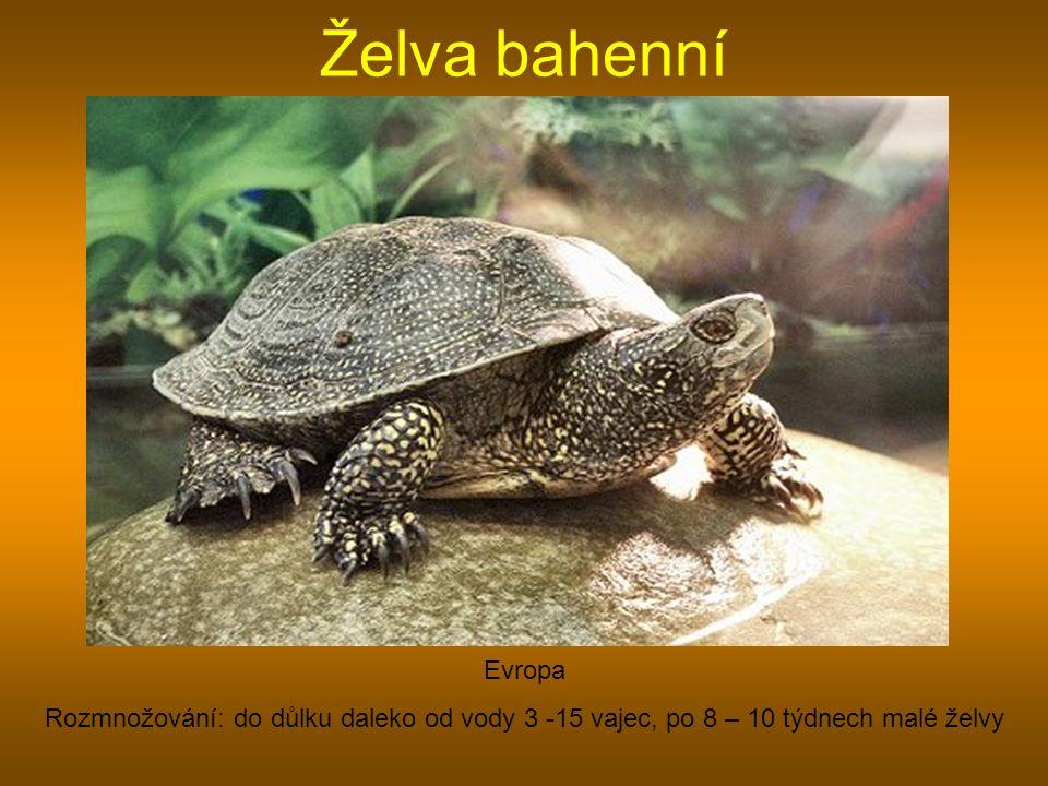 Želva bahenní Evropa Rozmnožování: do důlku daleko od vody 3 -15 vajec, po 8 – 10 týdnech malé želvy