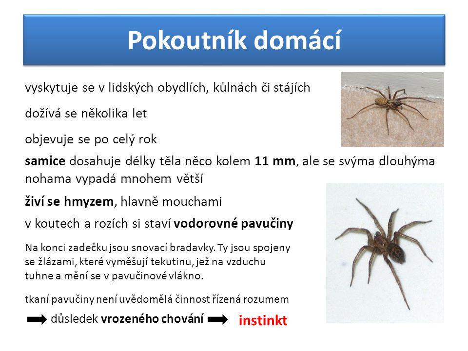 Pokoutník domácí vyskytuje se v lidských obydlích, kůlnách či stájích v koutech a rozích si staví vodorovné pavučiny objevuje se po celý rok živí se h