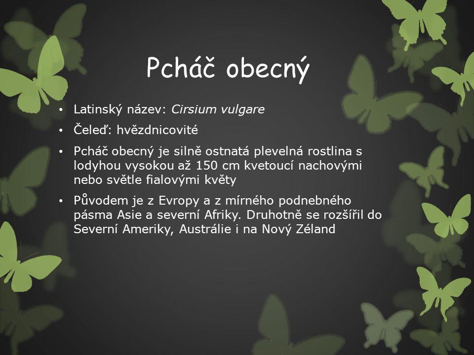 Pcháč obecný Latinský název: Cirsium vulgare Čeleď: hvězdnicovité Pcháč obecný je silně ostnatá plevelná rostlina s lodyhou vysokou až 150 cm kvetoucí nachovými nebo světle fialovými květy Původem je z Evropy a z mírného podnebného pásma Asie a severní Afriky.