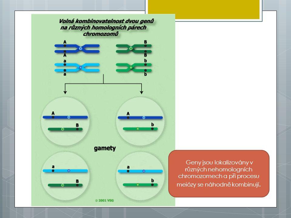 Morganovy zákony 1.Geny jsou lokalizovány na chromozomech a jsou na nich uspořádány lineárně.