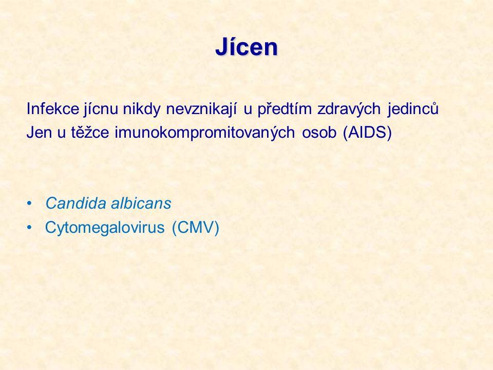Jícen Infekce jícnu nikdy nevznikají u předtím zdravých jedinců Jen u těžce imunokompromitovaných osob (AIDS) Candida albicans Cytomegalovirus (CMV)