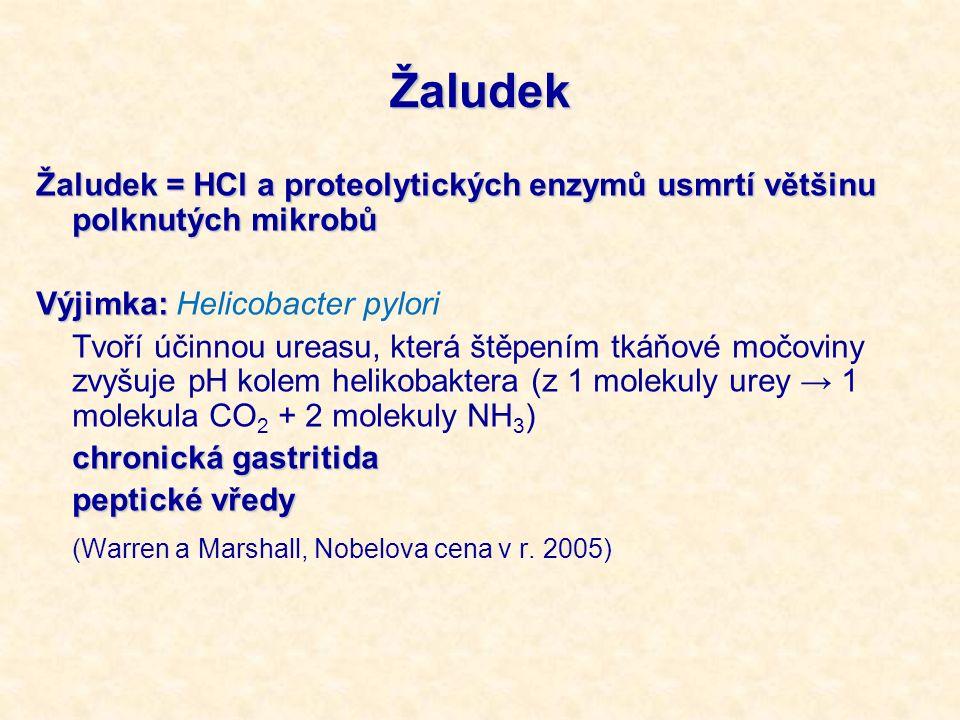 Žaludek Žaludek = HCl a proteolytických enzymů usmrtí většinu polknutých mikrobů Výjimka: Výjimka: Helicobacter pylori Tvoří účinnou ureasu, která štěpením tkáňové močoviny zvyšuje pH kolem helikobaktera (z 1 molekuly urey → 1 molekula CO 2 + 2 molekuly NH 3 ) chronická gastritida peptické vředy (Warren a Marshall, Nobelova cena v r.
