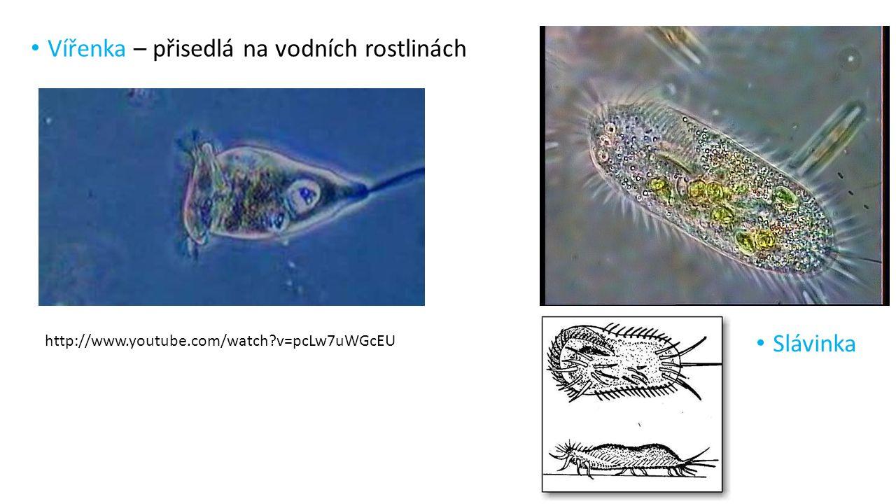 Vířenka – přisedlá na vodních rostlinách Slávinka http://www.youtube.com/watch?v=pcLw7uWGcEU