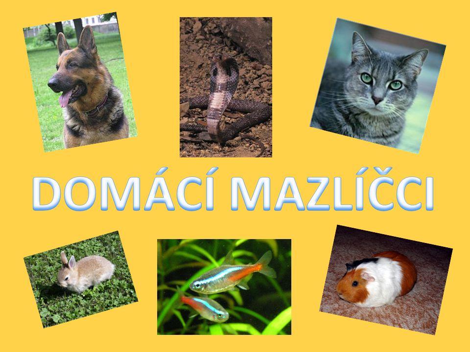 MORČE Morčata jsou zvířata společenská, zvláště samice je proto možné chovat ve skupině.