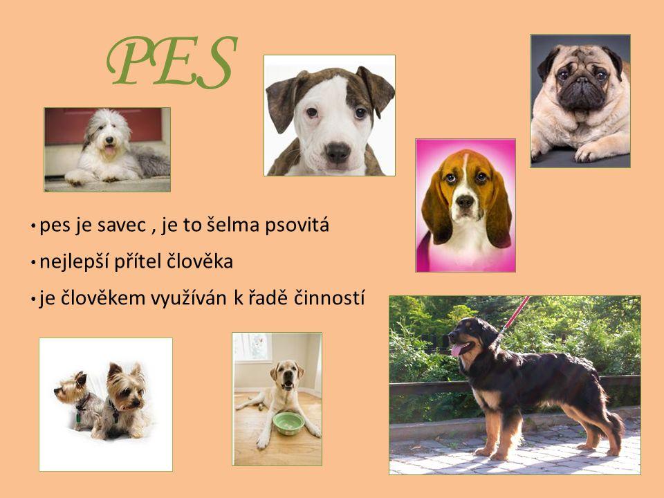 PES pes je savec, je to šelma psovitá je člověkem využíván k řadě činností nejlepší přítel člověka
