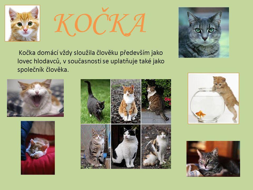 KOČKA Kočka domácí vždy sloužila člověku především jako lovec hlodavců, v současnosti se uplatňuje také jako společník člověka.