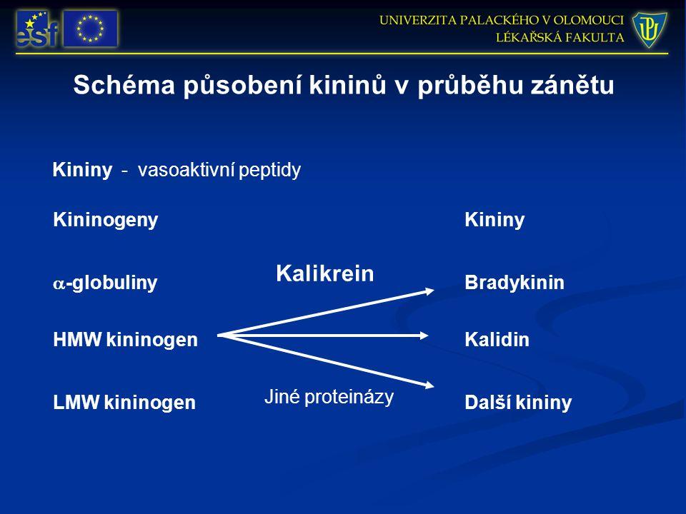 Schéma působení kininů v průběhu zánětu Kininy - vasoaktivní peptidy KininogenyKininy  -globuliny HMW kininogen LMW kininogen Bradykinin Kalidin Další kininy Kalikrein Jiné proteinázy