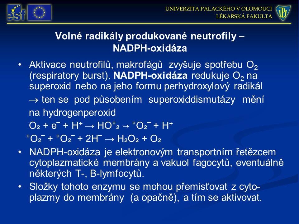 Volné radikály produkované neutrofily – NADPH-oxidáza Aktivace neutrofilů, makrofágů zvyšuje spotřebu O 2 (respiratory burst). NADPH-oxidáza redukuje