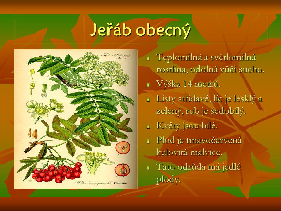 Je ř áb obecný Teplomilná a světlomilná rostlina, odolná vůči suchu. Výška 14 metrů. Listy střídavé, líc je lesklý a zelený, rub je šedobílý. Květy js