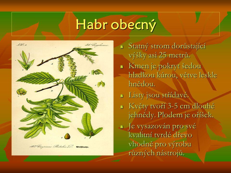 Habr obecný Statný strom dorůstající výšky asi 25 metrů. Kmen je pokryt šedou hladkou kúrou, větve leskle hnědou. Listy jsou střídavé. Květy tvoří 3-5