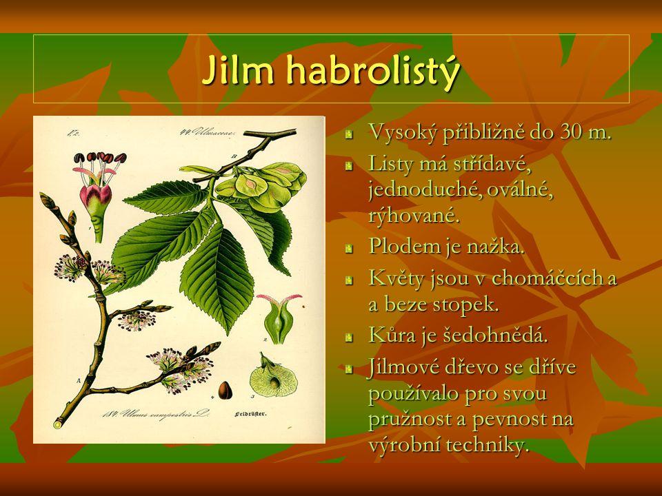 Jilm habrolistý Vysoký přibližně do 30 m. Listy má střídavé, jednoduché, oválné, rýhované. Plodem je nažka. Květy jsou v chomáčcích a a beze stopek. K