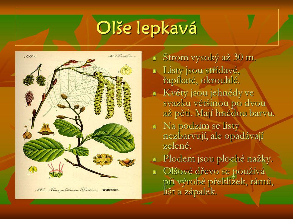 Olše lepkavá Strom vysoký až 30 m. Listy jsou střídavé, řapíkaté, okrouhlé. Květy jsou jehnědy ve svazku většinou po dvou až pěti. Mají hnědou barvu.