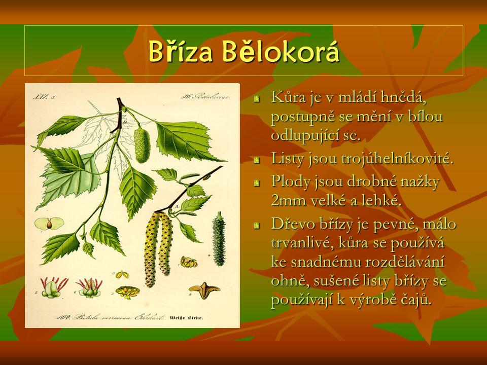 B ř íza B ě lokorá Kůra je v mládí hnědá, postupně se mění v bílou odlupující se. Listy jsou trojúhelníkovité. Plody jsou drobné nažky 2mm velké a leh