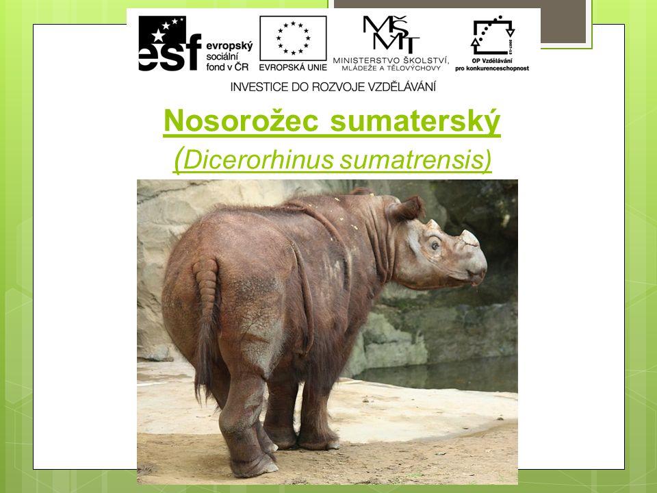 Nosorožec sumaterský ( Dicerorhinus sumatrensis)