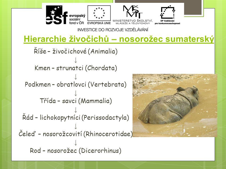 Hierarchie živočichů – nosorožec sumaterský Říše – živočichové (Animalia) ↓ Kmen – strunatci (Chordata) ↓ Podkmen – obratlovci (Vertebrata) ↓ Třída – savci (Mammalia) ↓ Řád – lichokopytníci (Perissodactyla) ↓ Čeleď – nosorožcovití (Rhinocerotidae) ↓ Rod – nosorožec (Dicerorhinus)
