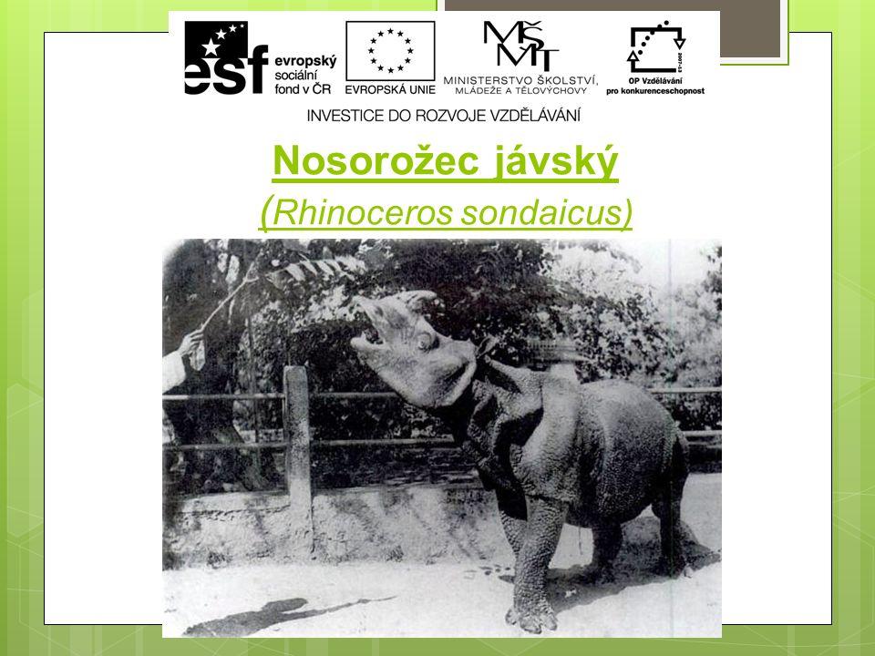 Nosorožec jávský ( Rhinoceros sondaicus)