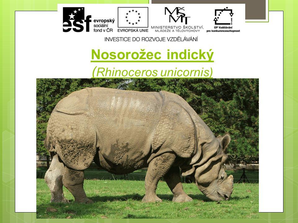 Nosorožec indický ( Rhinoceros unicornis)