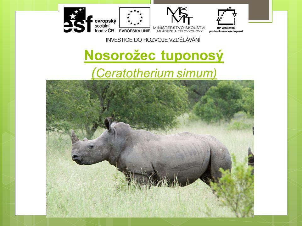 Nosorožec tuponosý ( Ceratotherium simum)
