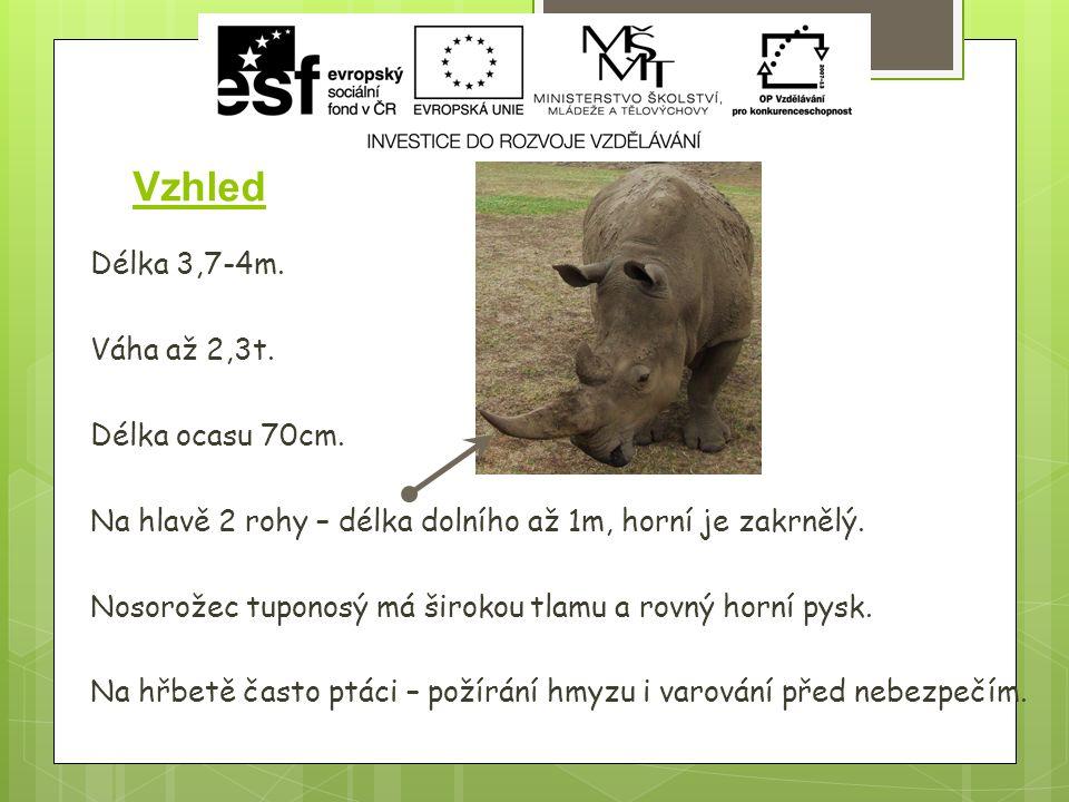 Nosorožec dvourohý ( Diceros bicornis)