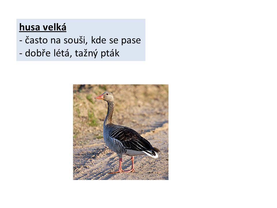 husa velká - často na souši, kde se pase - dobře létá, tažný pták