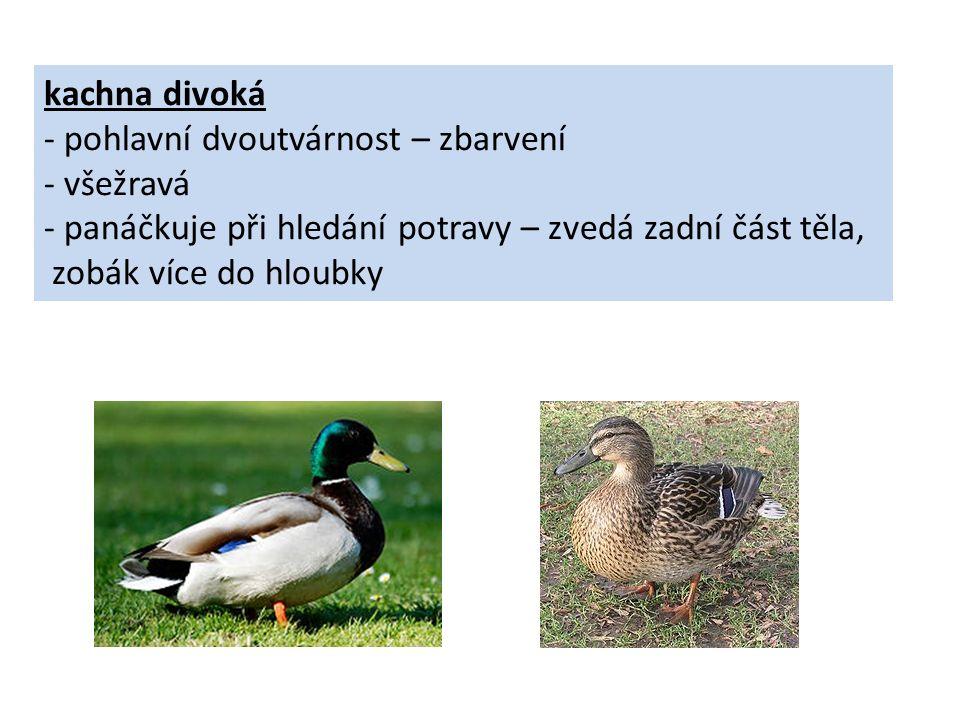 kachna divoká - pohlavní dvoutvárnost – zbarvení - všežravá - panáčkuje při hledání potravy – zvedá zadní část těla, zobák více do hloubky