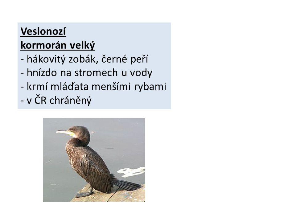 Veslonozí kormorán velký - hákovitý zobák, černé peří - hnízdo na stromech u vody - krmí mláďata menšími rybami - v ČR chráněný