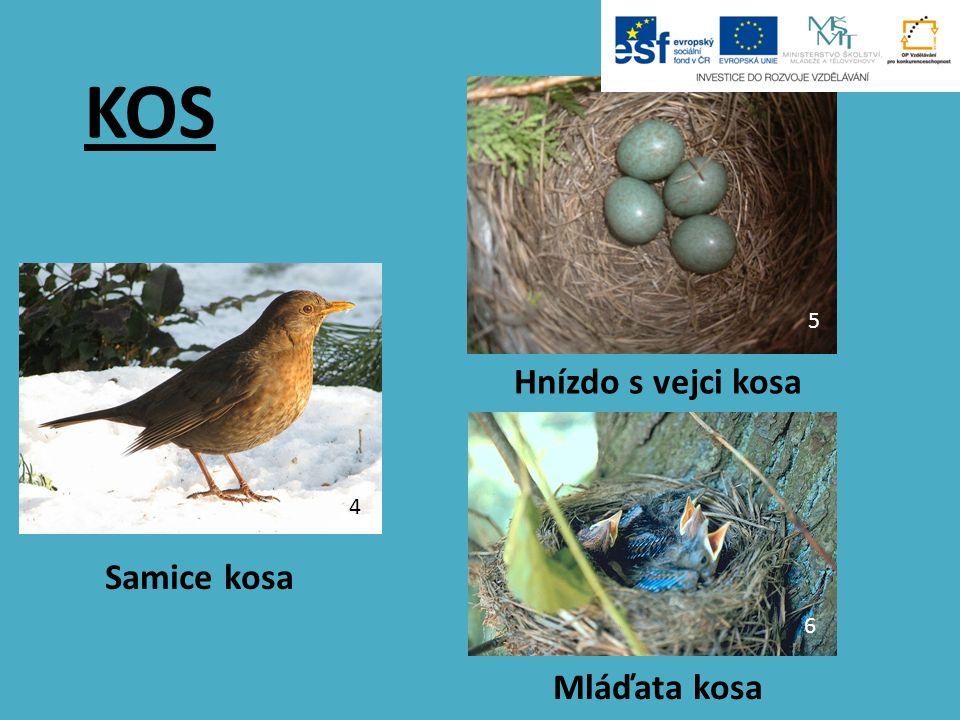 KOS Samice kosa Mláďata kosa Hnízdo s vejci kosa 4 5 6