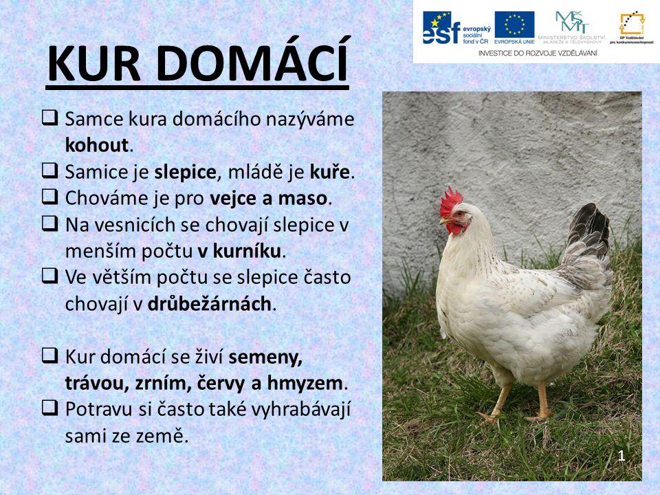 KUR DOMÁCÍ  Samce kura domácího nazýváme kohout.  Samice je slepice, mládě je kuře.