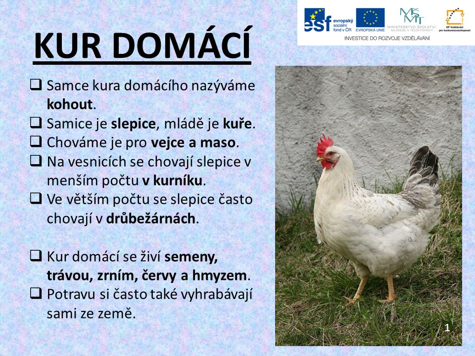 Použité zdroje: 10.Hen with chickens in native breeding.